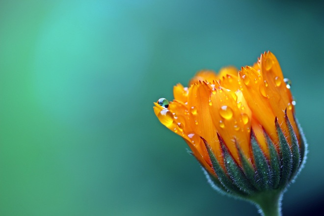 blossom-dew-plant-photography-leaf-flower-petal-bloom-raindrop-wet-orange-pollen-green-yellow-close-flora-drip-close-up-gardening-moisture-marigold-composites-medicinal-plant-macro-photography-floweri